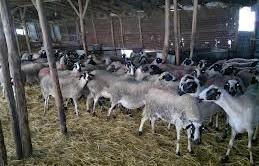 πρόβατα Χίου
