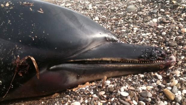 δελφίνι νεκρό
