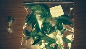 φυτα κάνναβης