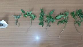 φυτα κάνναβη