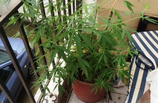 φυτα κάνναβης Ξάνθη