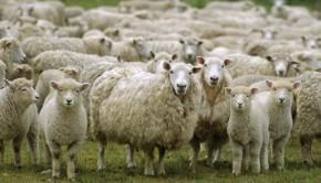 πρόβατα κοπάδι