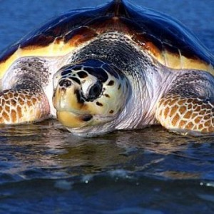 χελώνα καρέτα