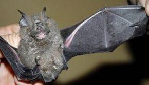 νυχτερίδα