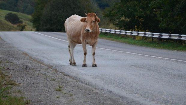 αγελάδα αδέσποτη