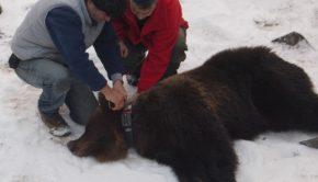 αρκούδα Γρανίτης